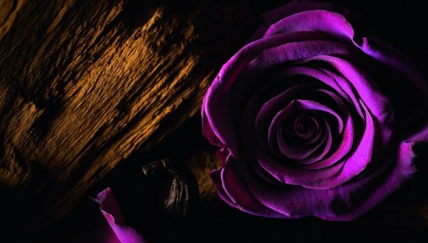 STILL LIFE_MAJESTIC ROSE