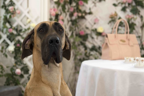 Mullbery_SS14_raser the Great Dane with Bayswater